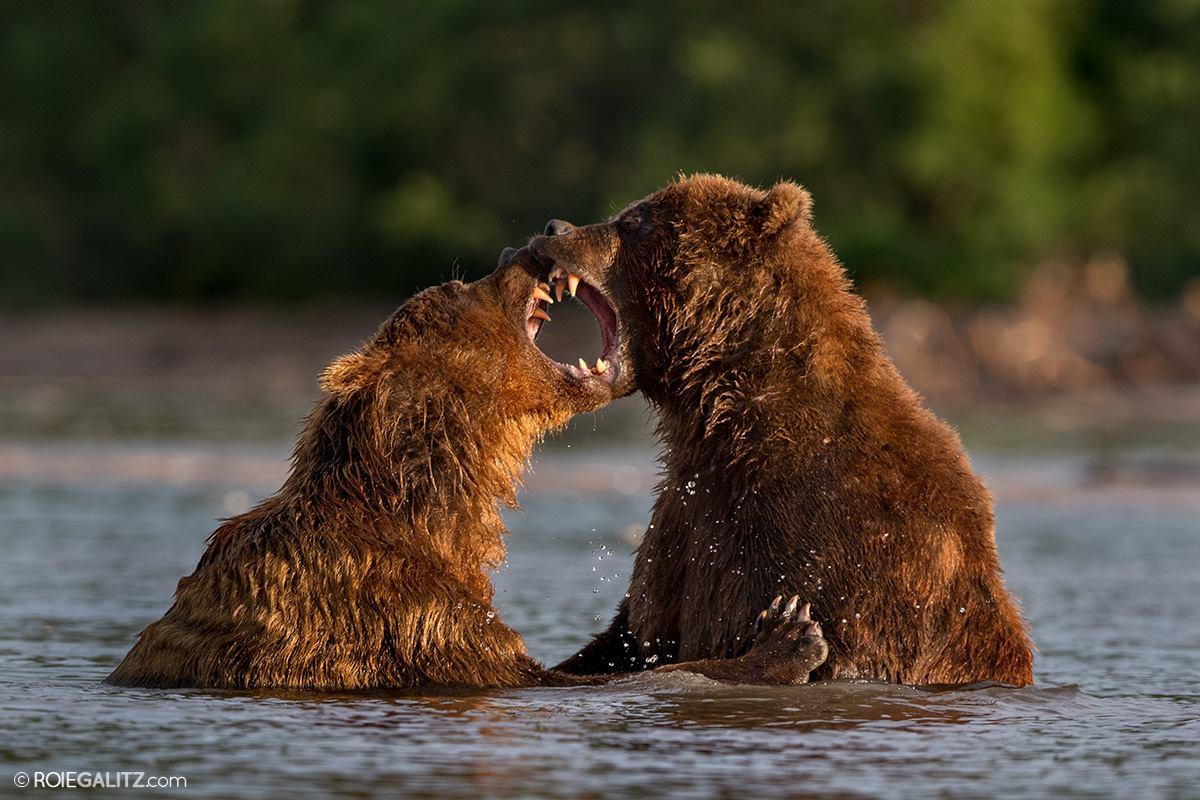 דובים בקמצ׳טקה