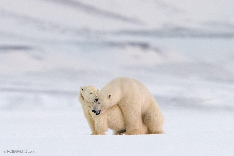 דובת קוטב עם גור. חצי מגורי הדובים לא שורדים את השנה הראשונה לחייהם