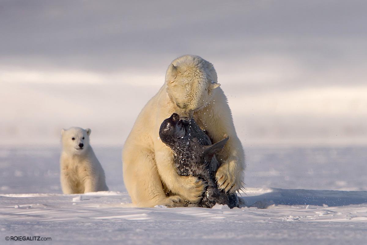 דובת קוטב צדה כלב ים.