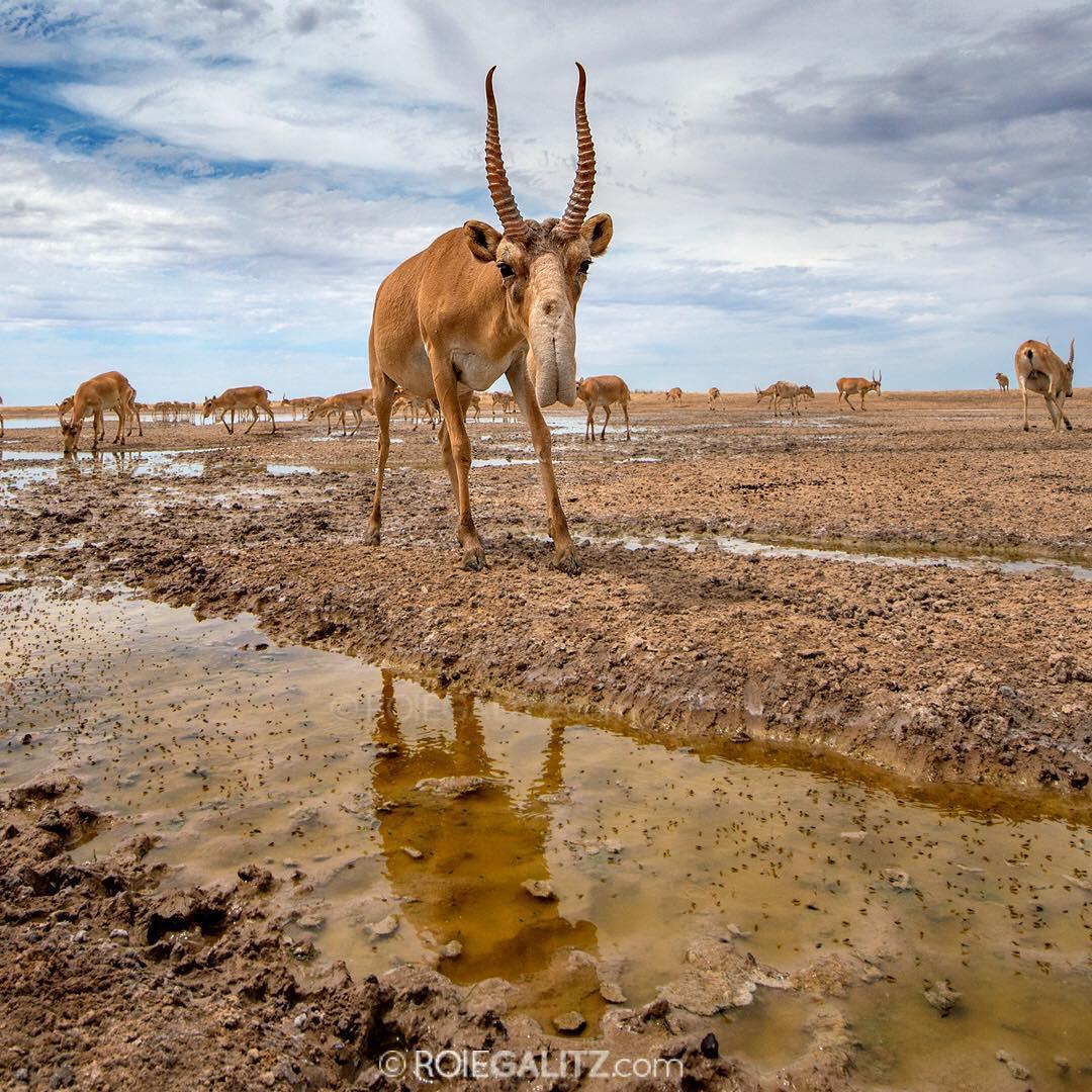 סייגה. בעל חיים שנמצא בסכנת הכחדה ממשית