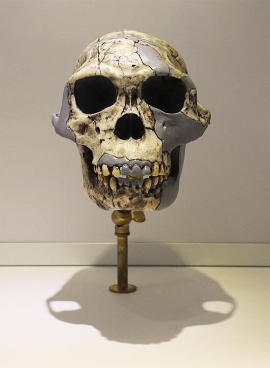 הומו האביליס, מין קדום במשפחת האדם.