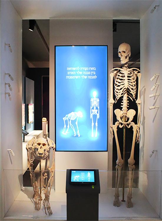 דגמי שלד של אדם ושל שימפנזה. הדמיון מפעים.