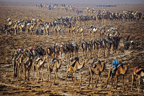 קרוון גמלים שמוביל מלח מאגם קארום, מדבר דנקיל, אתיופיה. צילום: חיומנקינד הפקות