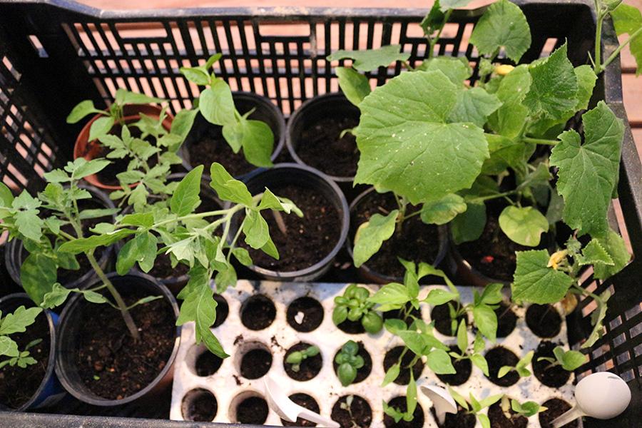 שתילי ירקות שונים אותם חילקו שמוליק טוויג ואלה גיל למשתתפים