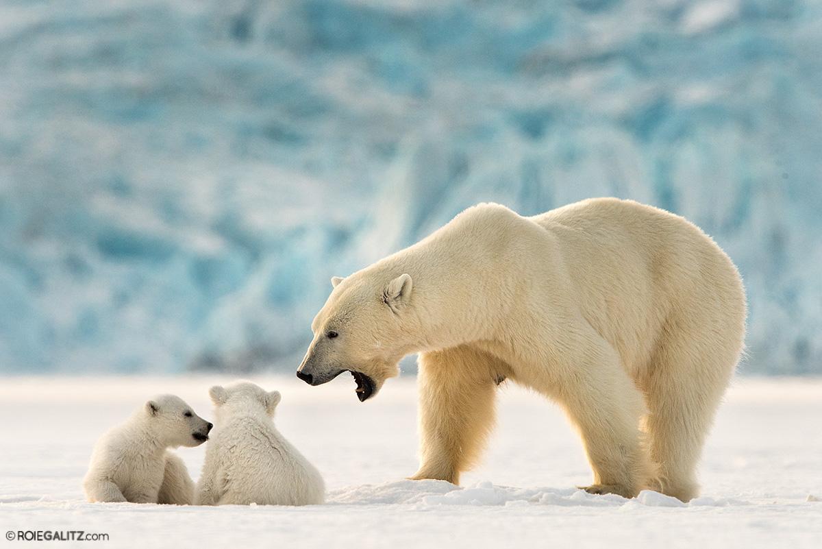 דובת קוטב עם גורים