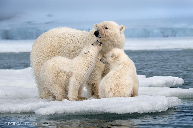 פרוייקט דובי הקוטב של רועי גליץ בשפיצברגן
