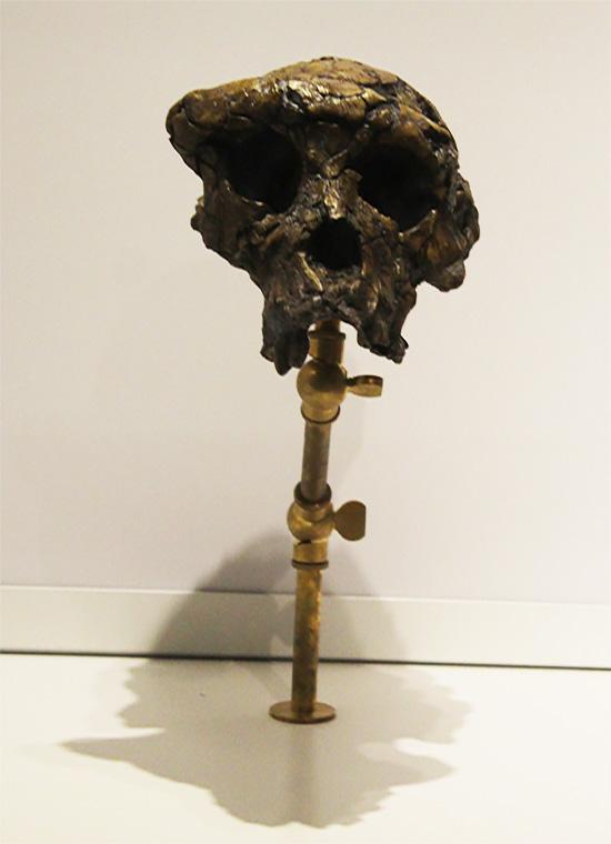 אבא, זה אתה? גולגולת בת 6-7 מיליון שנה של סהלאנתרופוס צ'אדנסיס.